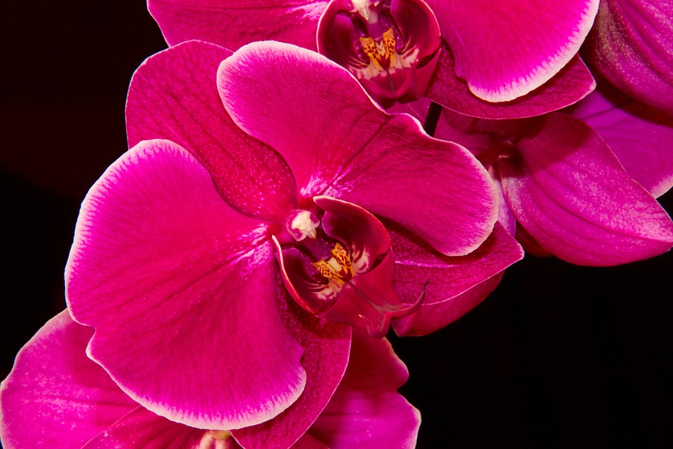 Tropical Orchid: National Flower of Kenya