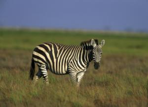Zebras : National animal of Botswana