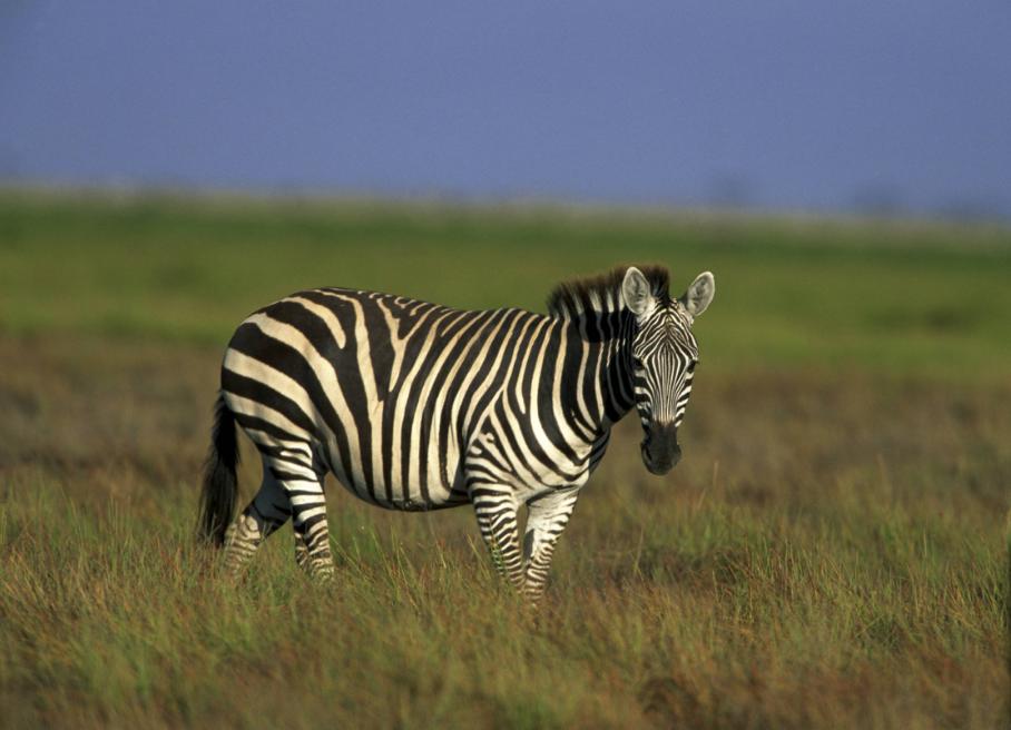 Zebras National animal of Botswana