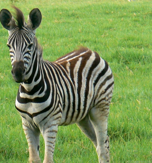 Zebras National animal of Botswana