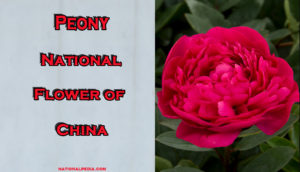 Peony: National Flower of China