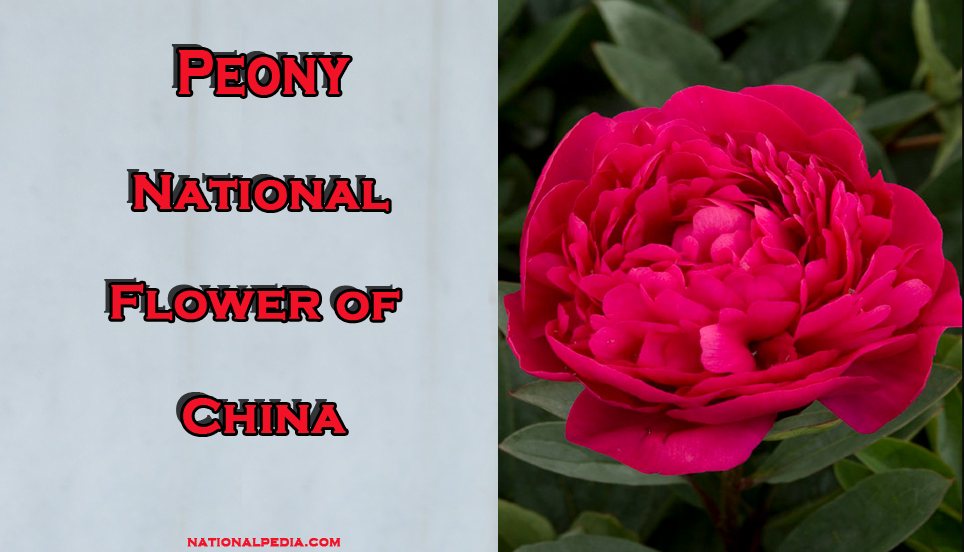 Peony National Flower Of China Meaning Of The Peony
