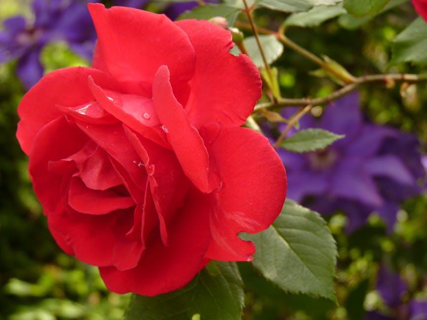 peony: National Flower of China